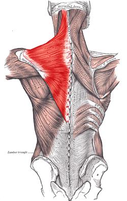trapezius-muscle