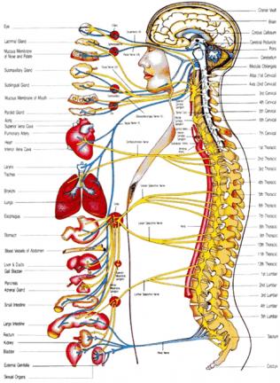 nervechart